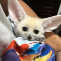 Fennec Fox Animals for sale in Houston, TX 77076, USA. price: NA