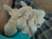 Fennec Fox Animals for sale in St. Louis, MO, USA. price: NA