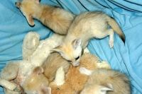 Fennec Fox Animals for sale in Ashburnham, MA, USA. price: NA
