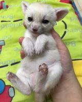 Fennec Fox Animals for sale in Phoenix, AZ 85021, USA. price: NA