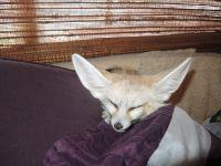 Fennec Fox Animals for sale in New Jersey Turnpike, Kearny, NJ, USA. price: NA