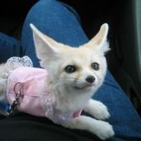 Fennec Fox Animals for sale in TX-121, Plano, TX, USA. price: NA