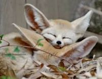 Fennec Fox Animals for sale in Pasadena, TX, USA. price: NA