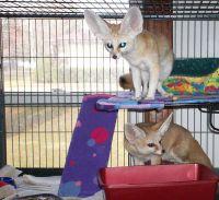Fennec Fox Animals for sale in Sacramento, CA, USA. price: NA