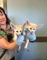 Fennec Fox Animals for sale in Sacramento, CA 95820, USA. price: NA
