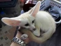 Fennec Fox Animals for sale in Beverly Hills, CA 90210, USA. price: NA