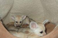 Fennec Fox Animals for sale in U US-46, Dover, NJ 07801, USA. price: NA