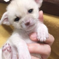 Fennec Fox Animals for sale in Metairie-Hammond Hwy, Metairie, LA, USA. price: NA