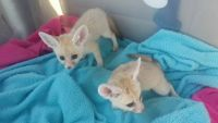Fennec Fox Animals for sale in Portland, OR, USA. price: NA