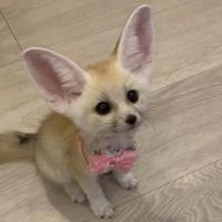 Fennec Fox Animals for sale in Iron Station Rd, Dallas, NC 28034, USA. price: NA