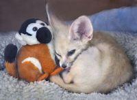 Fennec Fox Animals for sale in Detroit, MI, USA. price: NA