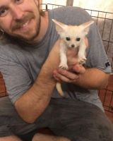 Fennec Fox Animals for sale in Central, SC 29630, USA. price: NA