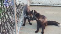 Fennec Fox Animals for sale in Aberdeen, SD 57401, USA. price: NA