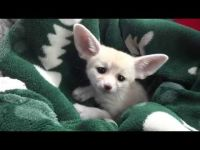 Fennec Fox Animals for sale in Los Angeles County, CA, USA. price: NA