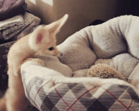 Fennec Fox Animals for sale in Texas City, TX, USA. price: NA