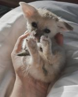 Fennec Fox Animals for sale in 120 Steeler Dr, Las Vegas, NV 89145, USA. price: NA