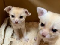 Fennec Fox Animals for sale in Ohio City, Cleveland, OH, USA. price: NA