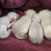 Fennec Fox Animals for sale in South Bend, IN, USA. price: NA