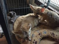 Fennec Fox Animals for sale in Los Angeles, CA, USA. price: NA