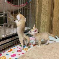 Fennec Fox Animals for sale in California City, CA, USA. price: NA