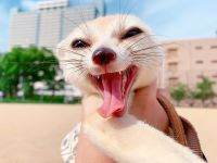 Fennec Fox Animals for sale in 30301 Carter St, Solon, OH 44139, USA. price: NA