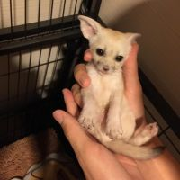 Fennec Fox Animals for sale in TN-1, Knoxville, TN, USA. price: NA