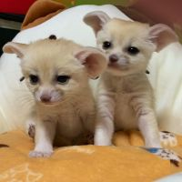 Fennec Fox Animals for sale in Femme Osage, MO 63332, USA. price: NA