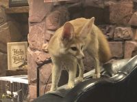 Fennec Fox Animals for sale in Bowling Green, KY, USA. price: NA