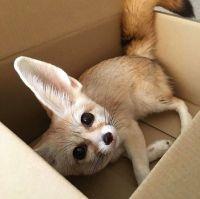 Fennec Fox Animals for sale in Austin, TX, USA. price: NA