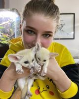 Fennec Fox Animals for sale in Augusta, GA, USA. price: NA