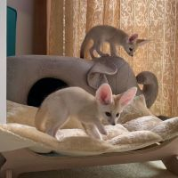 Fennec Fox Animals for sale in 7669 Webster Rd, Middleburg Heights, OH 44130, USA. price: NA