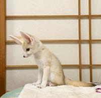 Fennec Fox Animals for sale in 6841 Hanford St, Jacksonville, FL 32219, USA. price: NA