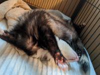 Ferret Animals for sale in Hillsborough, NC 27278, USA. price: NA