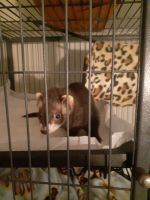 Ferret Animals for sale in Elgin, TX 78621, USA. price: NA