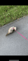 Ferret Animals for sale in Mallie, KY 41836, USA. price: NA