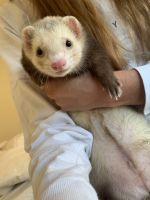 Ferret Animals for sale in Springdale, AR, USA. price: NA