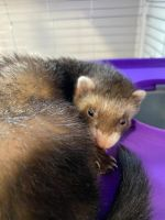Ferret Animals for sale in Copiague, NY, USA. price: NA