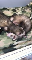 Ferret Animals for sale in Charlotte, NC, USA. price: NA