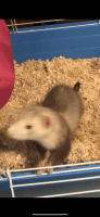 Ferret Animals for sale in Franklin, NC 28734, USA. price: NA