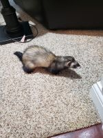Ferret Animals for sale in Louisville, KY 40299, USA. price: NA