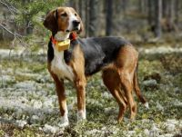 finnish hound dog