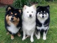 Finnish Lapphund Puppies Photos
