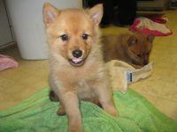 Finnish Spitz Puppies Photos
