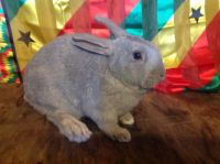 Flemish Giant Rabbits for sale in Bridgeport, CT, USA. price: NA