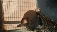 Flemish Giant Rabbits for sale in Rockport, TX 78382, USA. price: NA