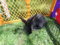 Flemish Giant Rabbits for sale in Duncan Falls, OH 43734, USA. price: NA