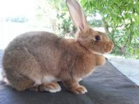 Flemish Giant Rabbits for sale in Roseville, OH 43777, USA. price: NA
