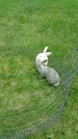 Flemish Giant Rabbits Photos