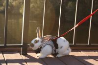 Flemish Giant Rabbits for sale in Myrtle Beach, SC, USA. price: NA
