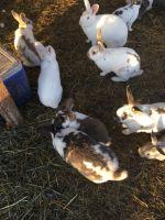 Flemish Giant Rabbits for sale in Ogden, UT, USA. price: NA